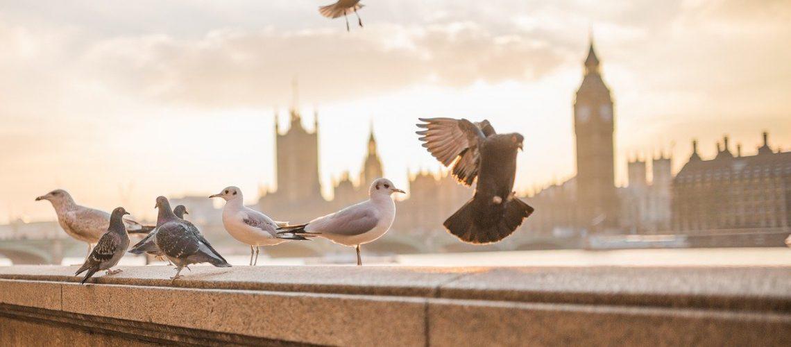 animals-pigeon